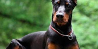 Крупная собака в городской квартире. Плюсы и минусы